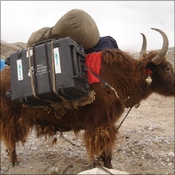 Yak loaded at intermediate camp for ABC