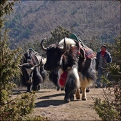 Yaks on the move