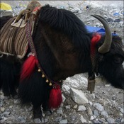 Yak blog photo small